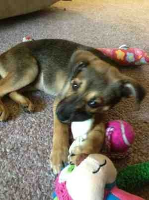 New mama to 9 week old gsd mix.-imageuploadedbypg-free1357827318.175551.jpg