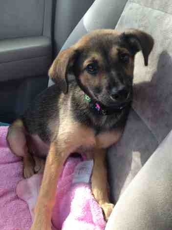 New Mama To 9 Week Old Gsd Mix German Shepherd Dog Forums
