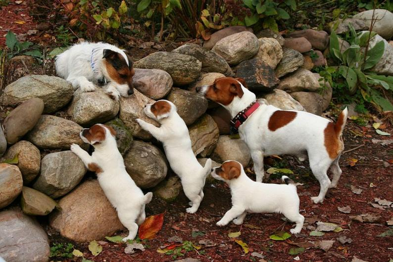 Hound, Bird-dog, JRT owners???  Help!-imageuploadedbypg-free1357947602.546364.jpg