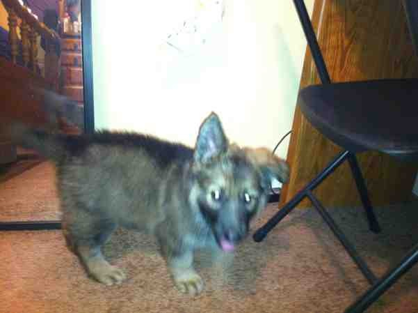 Purebred puppy?-imageuploadedbypg-free1358210581.063672.jpg