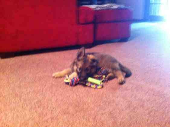 Purebred puppy?-imageuploadedbypg-free1358210598.761673.jpg