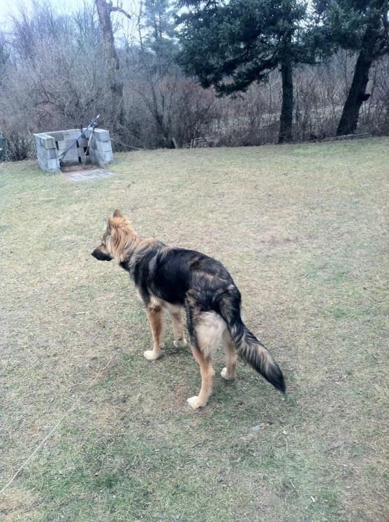 Purebred puppy?-imageuploadedbypg-free1358210685.124481.jpg