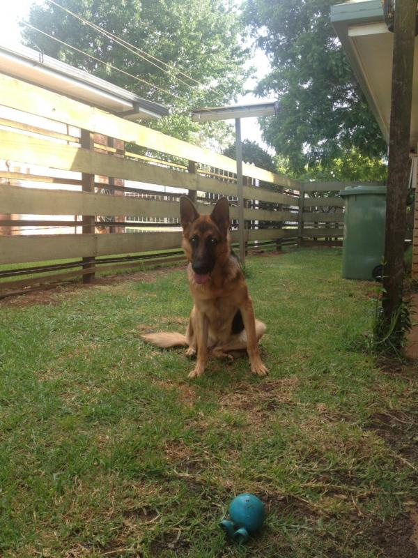 Few photos of our 11 month old GSD.-imageuploadedbypg-free1358681413.844866.jpg