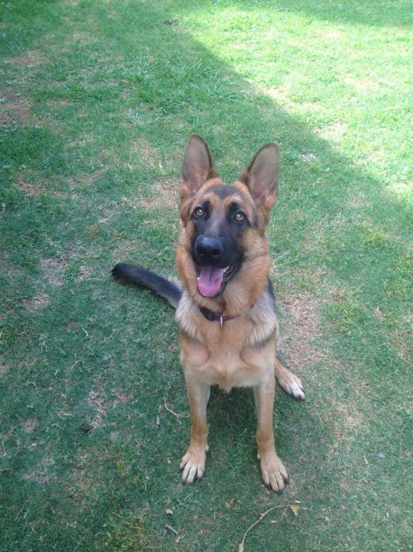 Few photos of our 11 month old GSD.-imageuploadedbypg-free1358681436.230333.jpg