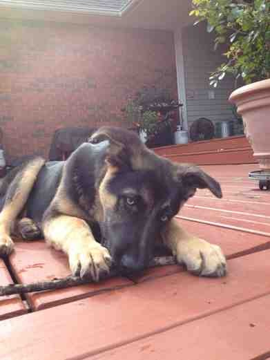 Show me your GSD at 4-5 months old!-imageuploadedbypg-free1358833038.789832.jpg