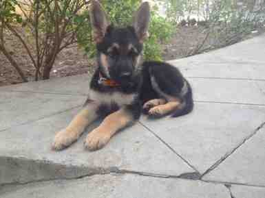 GSD 2 Months old-imageuploadedbypg-free1358865764.770809.jpg