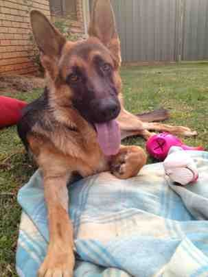 Few photos of our 11 month old GSD.-imageuploadedbypg-free1359117010.791260.jpg
