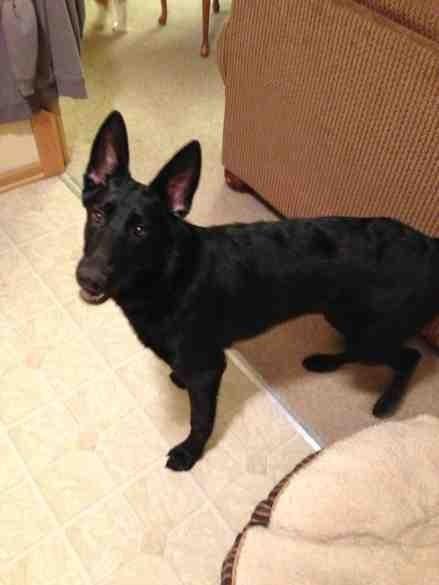 my all black german shepherd puppy sadie german shepherd