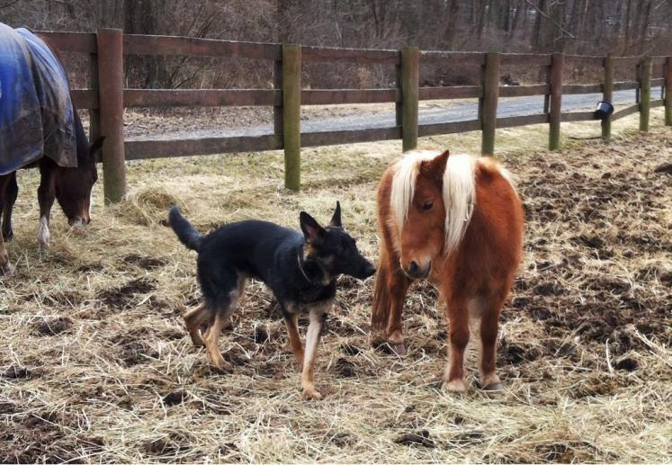 GSDs and Horses!-imageuploadedbypg-free1362970326.616090.jpg