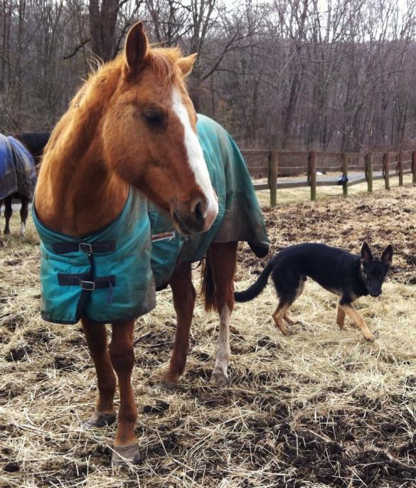 GSDs and Horses!-imageuploadedbypg-free1362970371.499062.jpg