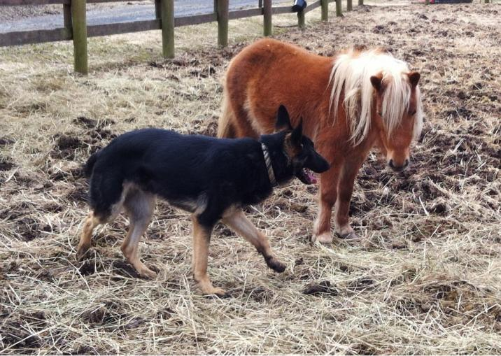 GSDs and Horses!-imageuploadedbypg-free1362970428.236337.jpg
