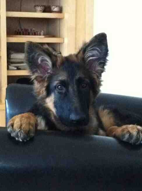 Show me those big eared pups!!!-imageuploadedbypg-free1364305726.469376.jpg