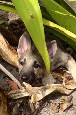 8 Week puppy ears (Already standing up)-imageuploadedbypg-free1364352734.265433.jpg