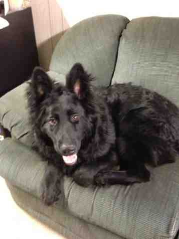 Show me your all BLACK gsds!-imageuploadedbypg-free1364489346.258506.jpg