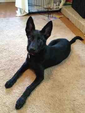Show me your first German Shepherd-imageuploadedbypg-free1373127028.527538.jpg