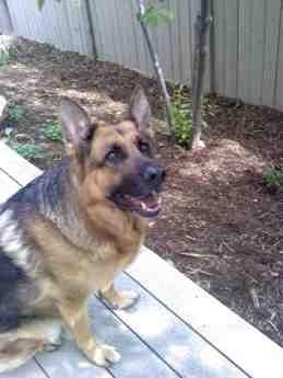 Show me your first German Shepherd-imageuploadedbypg-free1373144527.687495.jpg