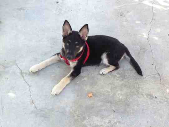 Is My New Puppy A Purebred Gsd German Shepherds Forum