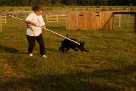 Nix first herding lesson-imageuploadedbypg-free1379381395.864998.jpg