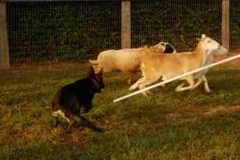Nix first herding lesson-imageuploadedbypg-free1379381416.419961.jpg