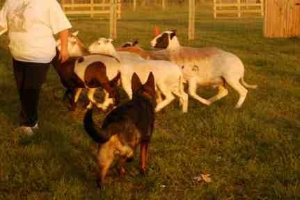 Nix first herding lesson-imageuploadedbypg-free1379381431.515774.jpg