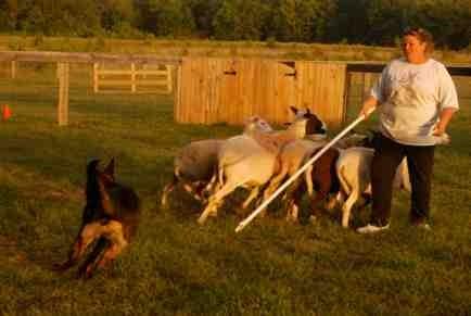 Nix first herding lesson-imageuploadedbypg-free1379381488.901002.jpg