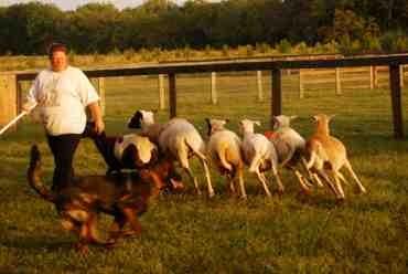 Nix first herding lesson-imageuploadedbypg-free1379381508.227575.jpg
