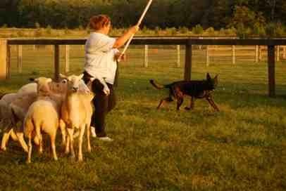 Nix first herding lesson-imageuploadedbypg-free1379381530.423465.jpg