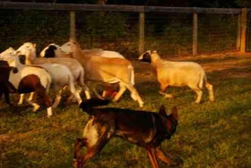Nix first herding lesson-imageuploadedbypg-free1379381552.260802.jpg