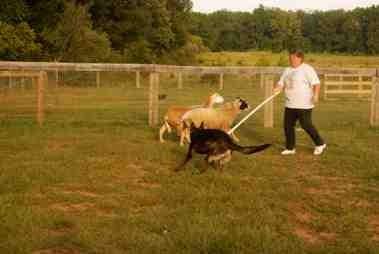 Nix first herding lesson-imageuploadedbypg-free1379381602.480711.jpg