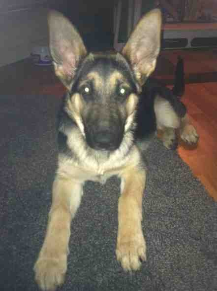 4 month old gsd female weighs 25lbs? Normal?-imageuploadedbypg-free1384245786.632371.jpg