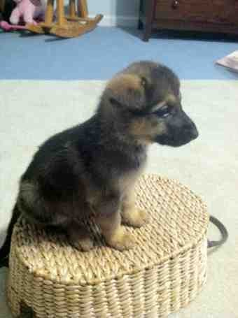 New member with new GSD pup on the way-imageuploadedbypg-free1386262262.707802.jpg