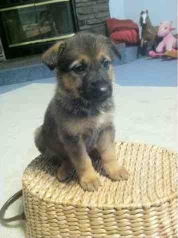 My girl Selaya (6 weeks old)-imageuploadedbypg-free1386338627.705910.jpg