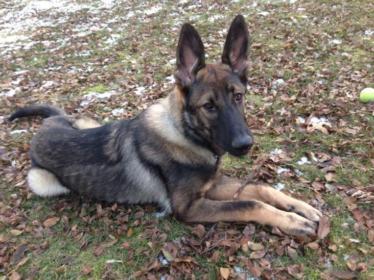 Meet Dakota; a sable German shepherd-imageuploadedbypg-free1387905467.749132.jpg