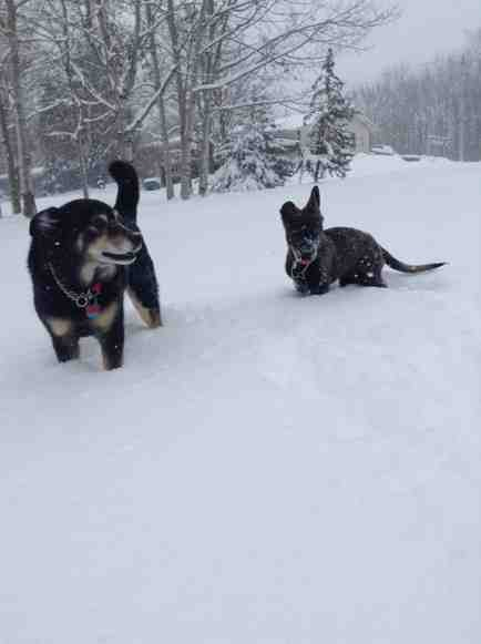 Snow and beautiful GSD-imageuploadedbypg-free1388944942.278646.jpg