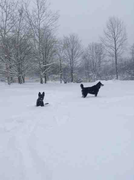 Snow and beautiful GSD-imageuploadedbypg-free1388944961.128374.jpg