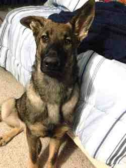 Cheap solution to fix broken ears in an ADULT GSDs.-imageuploadedbypg-free1389113925.884941.jpg