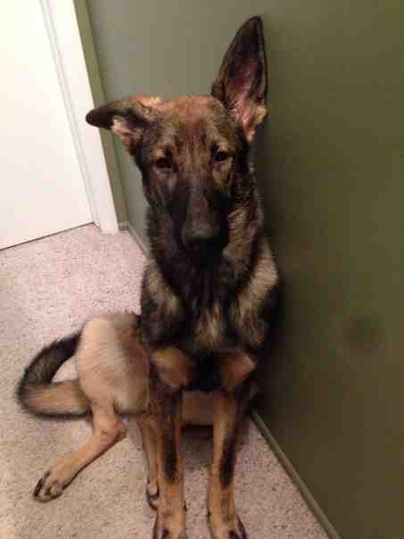 Cheap solution to fix broken ears in an ADULT GSDs.-imageuploadedbypg-free1389113941.651667.jpg