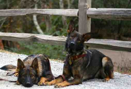 Opinions...people asking us to breed our dogs?-imageuploadedbypg-free1389322140.175945.jpg