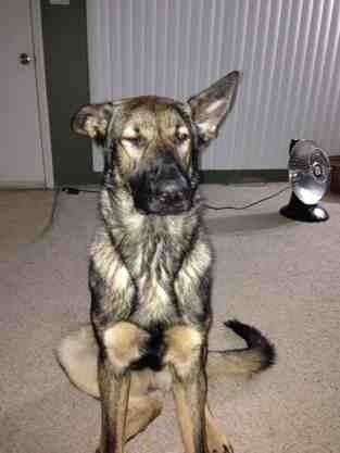 Cheap solution to fix broken ears in an ADULT GSDs.-imageuploadedbypg-free1389451678.164536.jpg