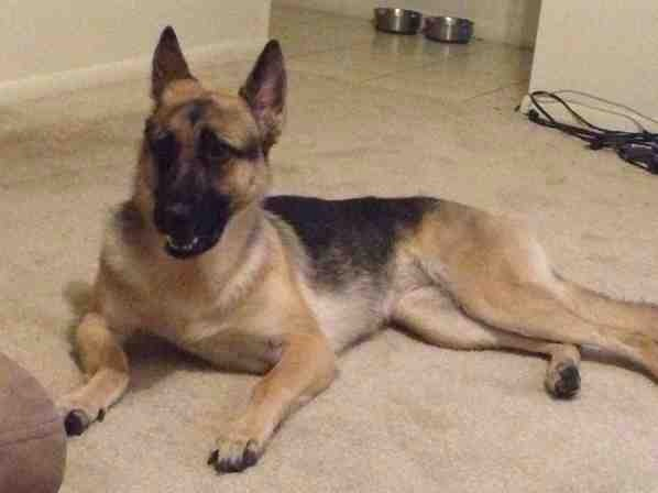 Newly adopted GSD won't eat! Help!-imageuploadedbypg-free1389458787.116194.jpg