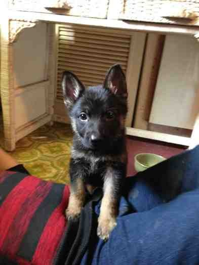 Advice requested (2 eleven wk old pups, need training advice)-imageuploadedbypg-free1389467034.861876.jpg