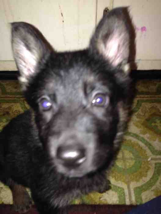 Advice requested (2 eleven wk old pups, need training advice)-imageuploadedbypg-free1389467319.730065.jpg