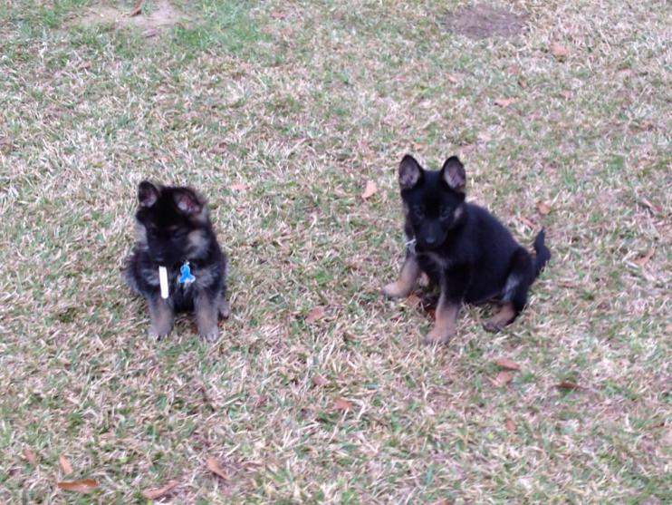 Advice requested (2 eleven wk old pups, need training advice)-imageuploadedbypg-free1389467366.100067.jpg