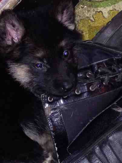 Advice requested (2 eleven wk old pups, need training advice)-imageuploadedbypg-free1389467408.781311.jpg