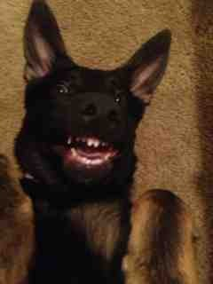 Lets see your GSD funny faces!!!-imageuploadedbypg-free1389583762.109642.jpg