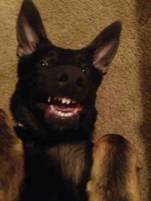 Lets see your GSD funny faces!!!-imageuploadedbypg-free1389583780.224237.jpg