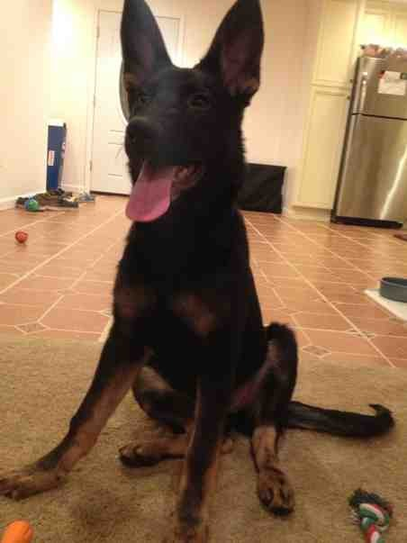 Is My Male GSD Too Small for his Age?-imageuploadedbypg-free1389665639.776659.jpg
