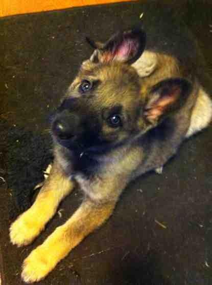 Roxie ears!!!-imageuploadedbypg-free1389714465.621194.jpg