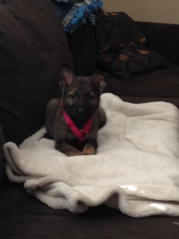 New GSD puppy-imageuploadedbypg-free1393261665.245267.jpg