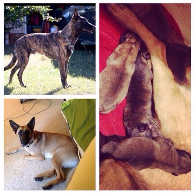 Begian Malinois vs Dutch Shepherd-imageuploadedbypg-free1393441282.911604.jpg